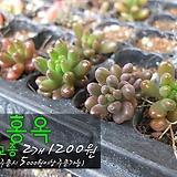 홍옥(Sedum rubroinctum) 다육모종 2개(1200원) 서울육묘생산 정품모종(단일품목 구매시 5천원 이상 배송가능)(단일품목 5천원 이상 배송가능) 