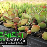 로케로시 다육모종 2개 1200원 (단일품목 구매시 5천원 이상 배송가능) 