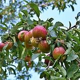 자두나무(추희)접목1년생 자두묘목 [모든원예조경]