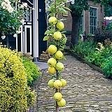 골든벨 기둥사과 화분상품/결실주 분달이 특묘 특대묘♥왜성 미니사과♥사과나무♥미니 사과 애기사과|
