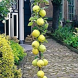 골든벨 로즈벨 기둥사과 화분상품♥왜성 미니사과♥사과나무♥미니 사과 애기사과|