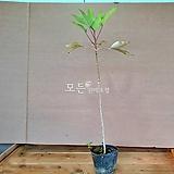 황칠나무 (포트묘) [모든원예조경]