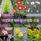 켄트마이조 큰꽃상록으아리 소품