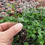 별아이비(Hedera helix_ ivy) 실내공기정화식물모종 800원 (단일품목 구매시 5천원 이상 배송가능) 
