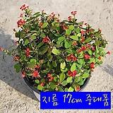 꽃기린 레드(Crown of Thorns Red 빨강) 지름 17cm 중품화분 다육 