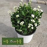 꽃기린 화이트(Crown of Thorns White 흰색) 지름 15cm 중품다육화분 