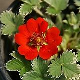 알프스 빨간양지꽃