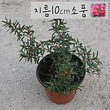 일지매꽃(매화나무)지름 10cm 소품화분 (단일품목 구매시 5천원 이상 배송가능) 