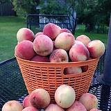 수형잡힌 복숭아 나무 화분상품♥백도 외목수형♥예쁜 수형 과일나무|