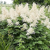아룬쿠스 개화주 특품 화분상품♥크림같이 하얀 깃털 모양의 꽃♥|