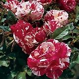 4계피스장미.센티멘탈.흰색,빨강색.꽃향기좋음.꽃이 큰형.아주예뻐요.울타리장미.월동가능.상태굿.늦가을까지 피고 합니다.