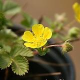 개화중인 토종 태기산양지꽃