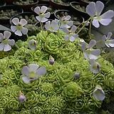 벌레잡이제비꽃(에셀리아나)-3촉합식