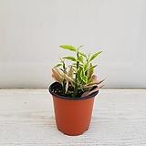 천국의 계단/공기정화식물/반려식물/온누리 꽃농원