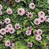 아스트란티아 스파클링 스타화이트 뿌리묘 별모양의 이쁜꽃을 피우고 노지월동 잘되는 품종이죠.