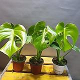 불링불링 몬스테라( 새로입고) 잎이 6개가되면 구멍이 생겨요