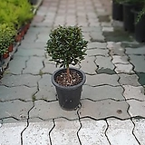 Echeveria Fiona