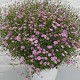안개꽃10 - 핑크