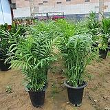 테이블야자 (공기정화식물)키약50cm