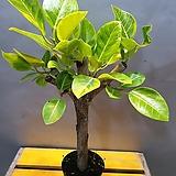 귀요미뱅갈고무나무( 접붙이지 않고 가지에서 자연스럽게 새싹이 돋아난 아이에요)