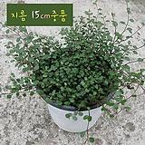 트리안 (뮤렌베키아) 지름 15cm 중품 관엽화분 Muehlenbekia complexa