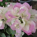 핑크엔젤부겐베리아-화려한사계꽃
