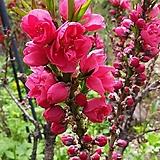 남경도 외목수형 화분상품♥꽃이 예쁜 꽃복숭아♥|