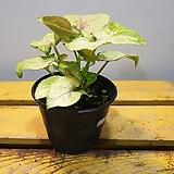 싱고니움 (핑크 아루시온) 수입식물   랜덤발송