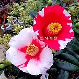 옥살리스 글라브라(꽃대소품)