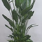 독특한율마( 한목대) 수입식물  흰색무늬가 있는 아이에요