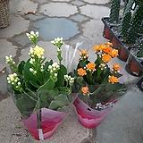 겹꽃 백매화 설중매 품종 화분상품,멋진 외목수형,스탠다드 타입