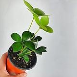파블로 유칼립투스 공기정화식물 한빛농원
