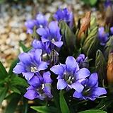 (희귀종)세엽 레위시아-비터루트