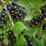 블랙커런트씨앗(15g)립수3000립|
