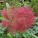 자엽안개나무|