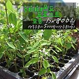 다이아몬드 프로스트 실내공기정화식물모종 800원 (단일품목 구매시 5천원 이상 배송가능) 