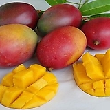 자가수정 애플망고트리 킹레드(아이윈) 화분상품,왜성 망고나무 외목수형,화분재배 최적화|