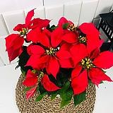 크리스마스 꽃 포인세티아 중품|Echeveria Agavoides Christmas