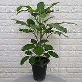 ♥알파인 대엽 홍콩야자 16 ♥공기정화식물