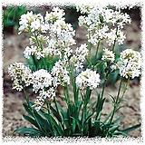 비스카리아동자-스노우스타 4포트 노지월동 다년초 희귀종 밀원식물 케이야생화
