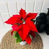 크리스마스를 기다리는 꽃 포인세티아 소품 인테리어 플랜테리어|