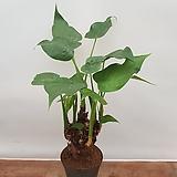[진아플라워] 앙증맞은 한뿌리 하트알로카시아  125