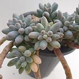 Pachyphytum Machucae(baby finger)