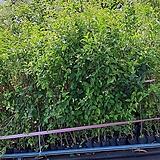 제주광나무(3치포트)5주|