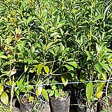 붓순나무(3치반포트)5주|