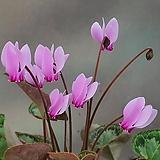 원종 시크라멘 (핑크 중대형귀)|
