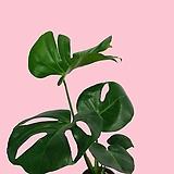 꽃과나무 ] 오렌지 자스민 / 쟈스민 / 향기 / 꽃 / 양지 / 반양지 / 쉬움 /인테리어