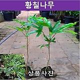 황칠나무 키50cm포트묘(2개묶음) 가림원예조경