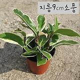 칼라호야(wax plant 공기정화) 지름 9cm 소품화분 (단일품목 구매시 5천원 이상 배송가능) 