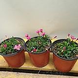 도화사랑초( 번식력 좋아요) 새로입고  진한핑크색꽃이 넘이뼈요|